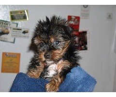 Lovely teacup yorkie puppies ready