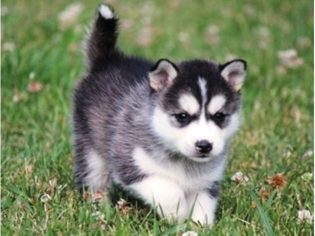 Akc Alaskan Klee Kai Puppies For Sale Animals Arizona City