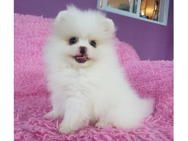Akc Pomeranian Puppies For Sale Animals California City