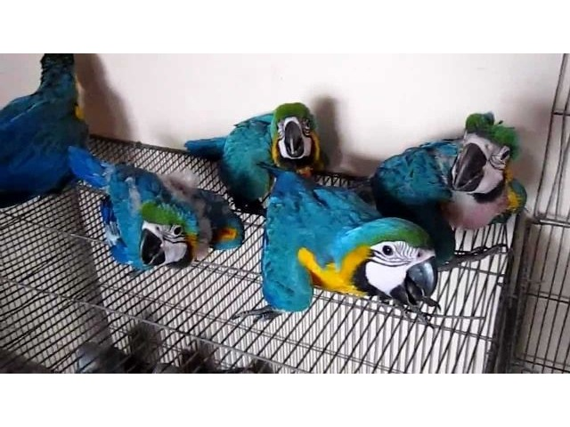 Beautiful Blue and Gold Macaw Parrots For sale | free-classifieds-usa.com