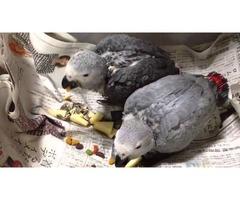 Companion Congo African Grey Parrots For sale