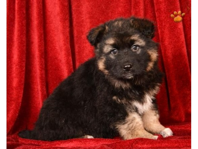 German Shepherd Puppies For Sale Animals Germantown Maryland