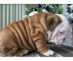Intelligent English Bulldog Puppies for Sale