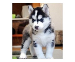 Siberian Husky Puppies 13 weeks old almost ready boys and girls available
