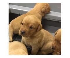Akc Fox Red English Labrador Retriever puppies!!!!