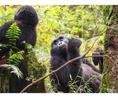 Budget Gorilla And Chimpanzee trekking Safari in Uganda