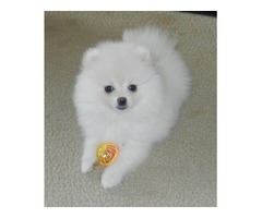 Male and Female AKC Pomeranian puppy available.