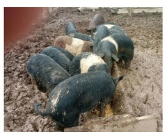 Hogs for sale