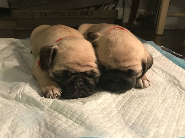 Pug Puppies For Bakersfield Ca Gallery 4k Wallpapers