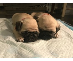 AKC PUG puppies are ready for a new home