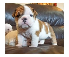 GORGEOUS BABY ENGLISH BULLDOG
