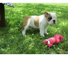 GORGEOUS BABY ENGLISH BULLDOG  | free-classifieds-usa.com