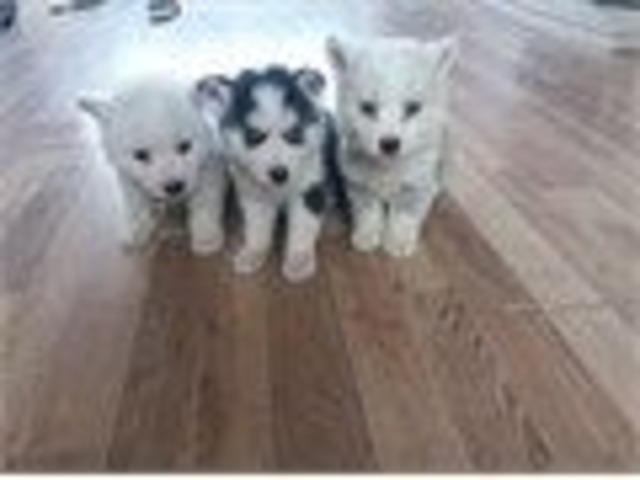 Sweet Siberian Husky Puppies | free-classifieds-usa.com
