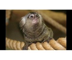 Beautiful Marmoset Monkeys for Rehoming