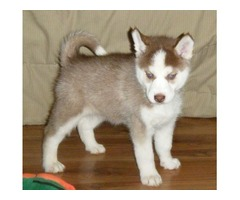 Purebred Siberian Huskies Puppies