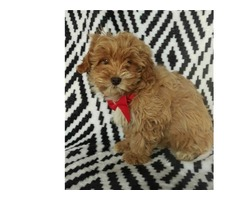 Pretty home Yorkie poo Puppy for sale