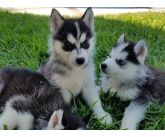 Beautiful Husky puppies - Animals - Clayton - Alabama ...