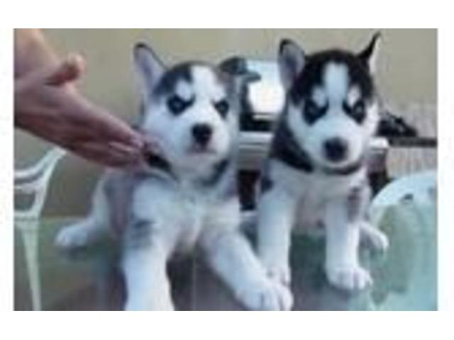 2 Gorgeous Siberian Husky Puppies Animals Las Vegas Nevada