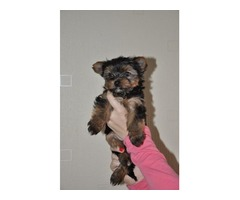 AKC Tea Cup Yorkshire Terrier puppies