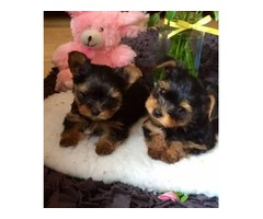 two amazing Yorkie, a male and female ready for loving homes