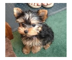 2 Yorkie puppies male and female