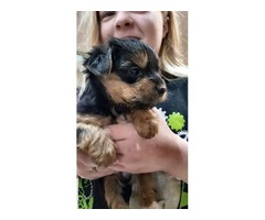 Yorkshire Terrier Puppies | free-classifieds-usa.com