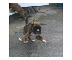 Bo Boxer Young Male for sale