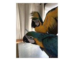 Blue and gold Macaw Female Handraised