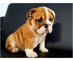 AKC registered English bulldogs (male and female)