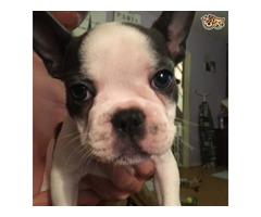 AKC registered adorable French bulldog puppies | free-classifieds-usa.com
