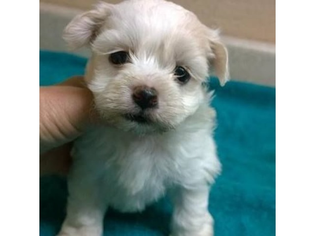 Akc Miniature Schnauzer Puppies Animals Abbeville Alabama