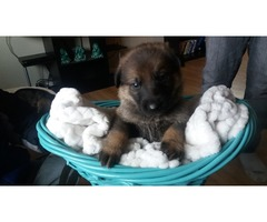 Pure Bred German Shephard puppies