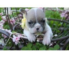 Good looking Frenchie puppies for adoption