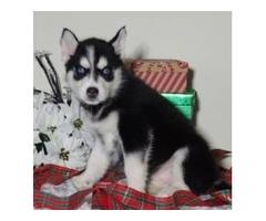 Siberian Husky puppies M/F