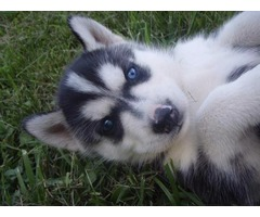 Female and male Siberian Husky puppies