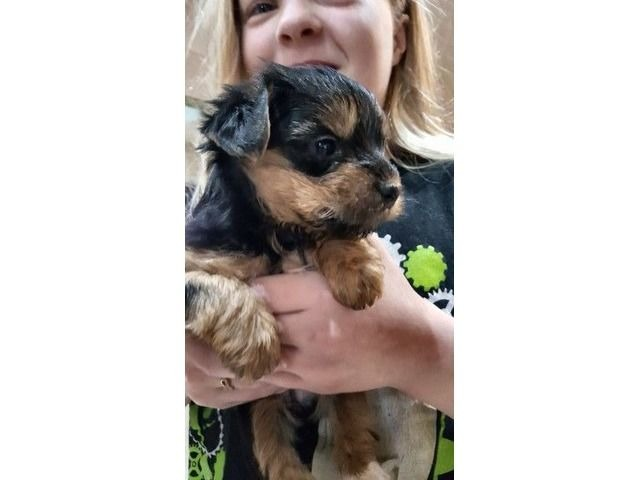 Akc 100 Guarantee Teacup Yorkie Puppies Animals Chicago Heights