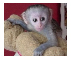 Capuchin Monkey now Available