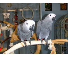 Well Tamed African Grey Parrots