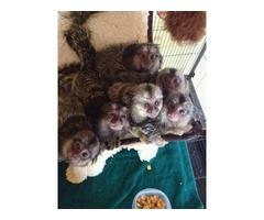 Amazing marmoset Monkeys