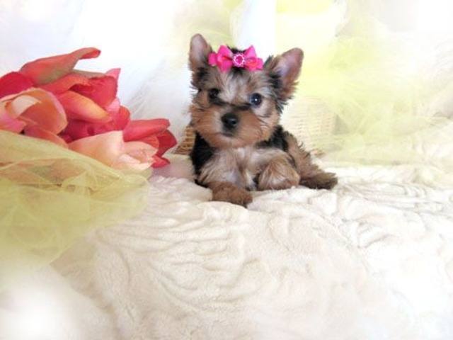 Tiny Tri Color Teacup Yorkie Puppies Available For A Lovely Home