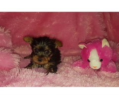 Baby Face Teacup Yorkie Puppies For Pet Lovers