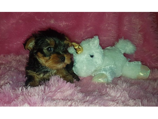Teacup Yorkie Puppies For New Homes Animals Dillon Colorado