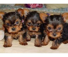 Loving Yorkshire Terrier  Puppies
