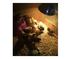 Organically raised chicks