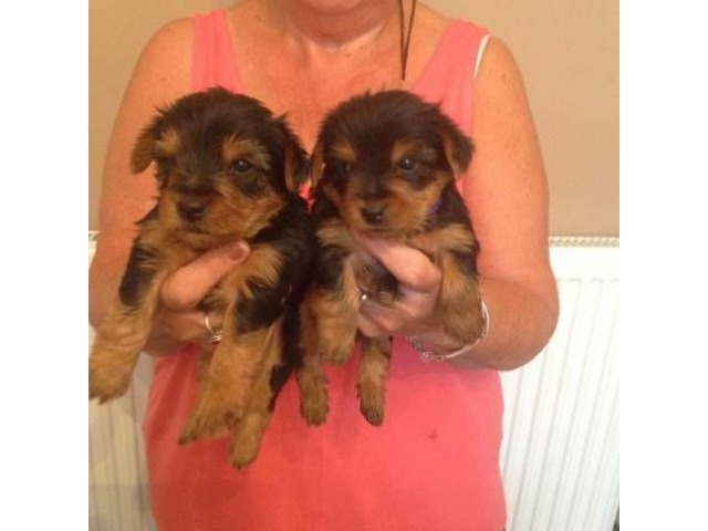 Teacup Yorkie Puppies For New Homes Animals Chicago Ridge