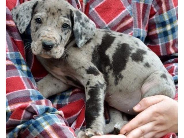massive cute male great dane puppies for sale animals portland