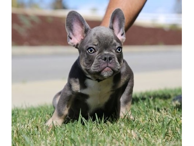 Good Looking Female French Bulldog Puppies For Sale Animals