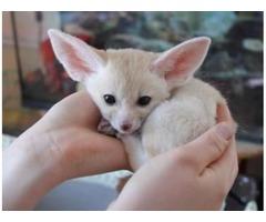 USDA  Licensed Fennec Fox Babies For Sale