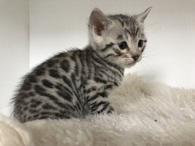 Cute Bengal Kittens for sale - Animals - Chicago ...