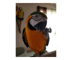 Blue and Gold Macaw Parrots For Sale calls or text(770) 679-6703